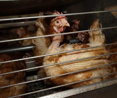 Sliepky v klietkovom chove. (FOTO: OBRAZ – Obránci zvířat)