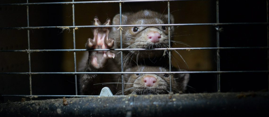 Mink at a fur farm in Ontario.